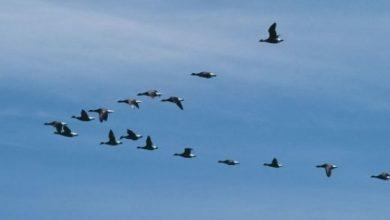 صورة قطيع أوز يجبر طائرة أمريكية على الهبوط الاضطراري
