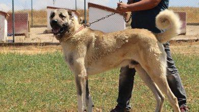 صورة الكويت- حملة لمنع تكاثر الكلاب بعد وصول أعدادها إلى 20 ألفا