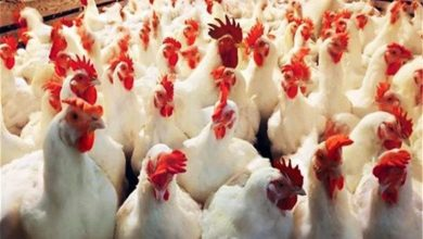 صورة إندونيسيا تبدأ في تدمير الملايين من بيض الدواجن.. فما السبب؟