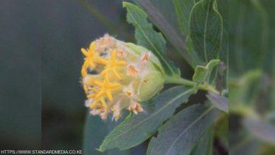 صورة اكتشاف حل أمثل للسمنة في نبتة لا تخطر على البال