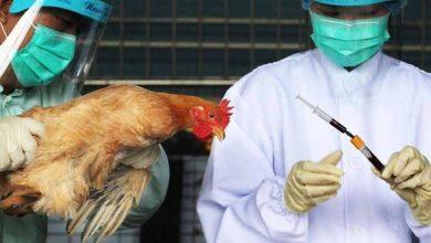 صورة ظهور سلالة شديدة الخطورة من فيروس إنفلونزا الطيور فى الصين