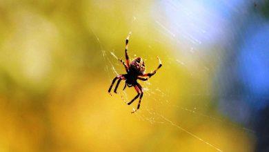 صورة عنكبوت ينسج شبكته في أذن امرأة ويعيش فيها! (فيديو)