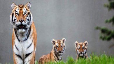 صورة النمور الأمريكية في خطر بسبب جدار ترامب