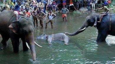 فيديو لنفوق أنثى فيل حامل بأناناس مفخخ يثير غضبًا واسعًا