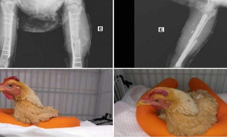 صورة عملية جراحية لدجاجة تشعل السوشيال ميديا في مصر
