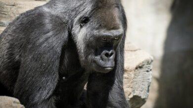 تعرف على أول حيوان يتلقى لقاح كورونا في العالم